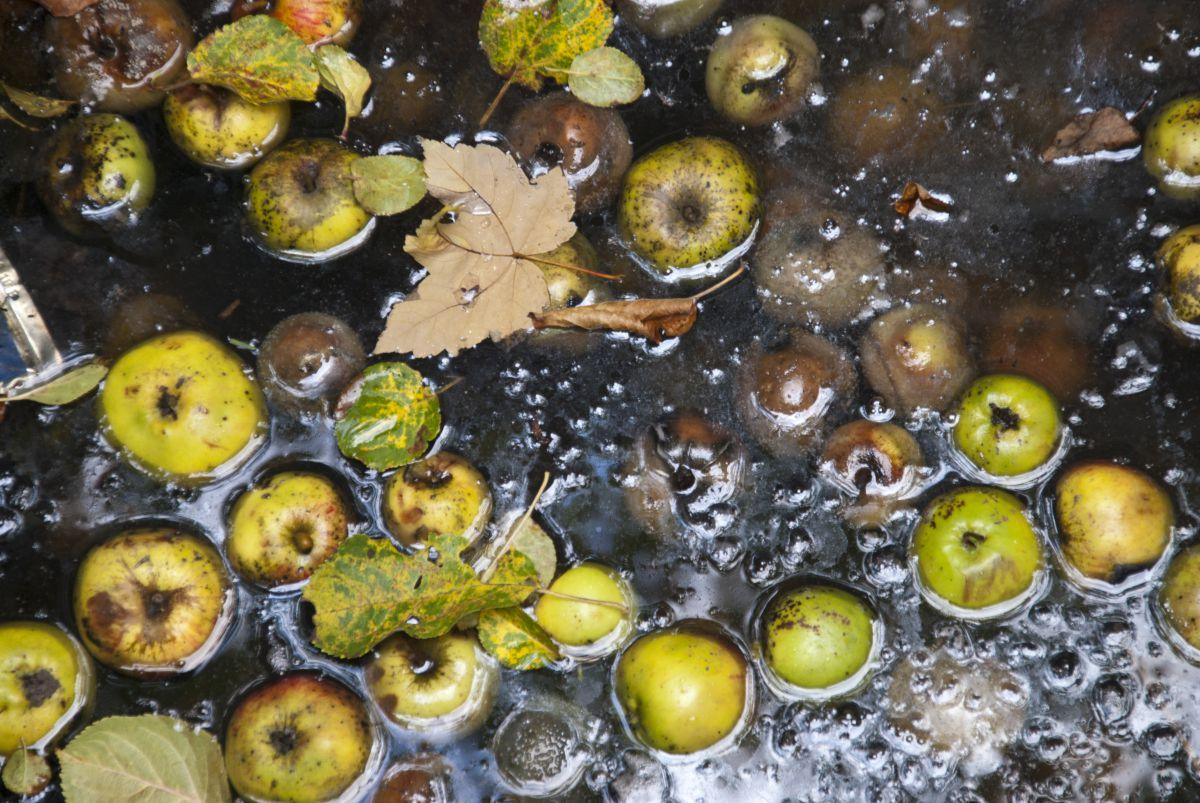 rotten-apples_1200.jpg